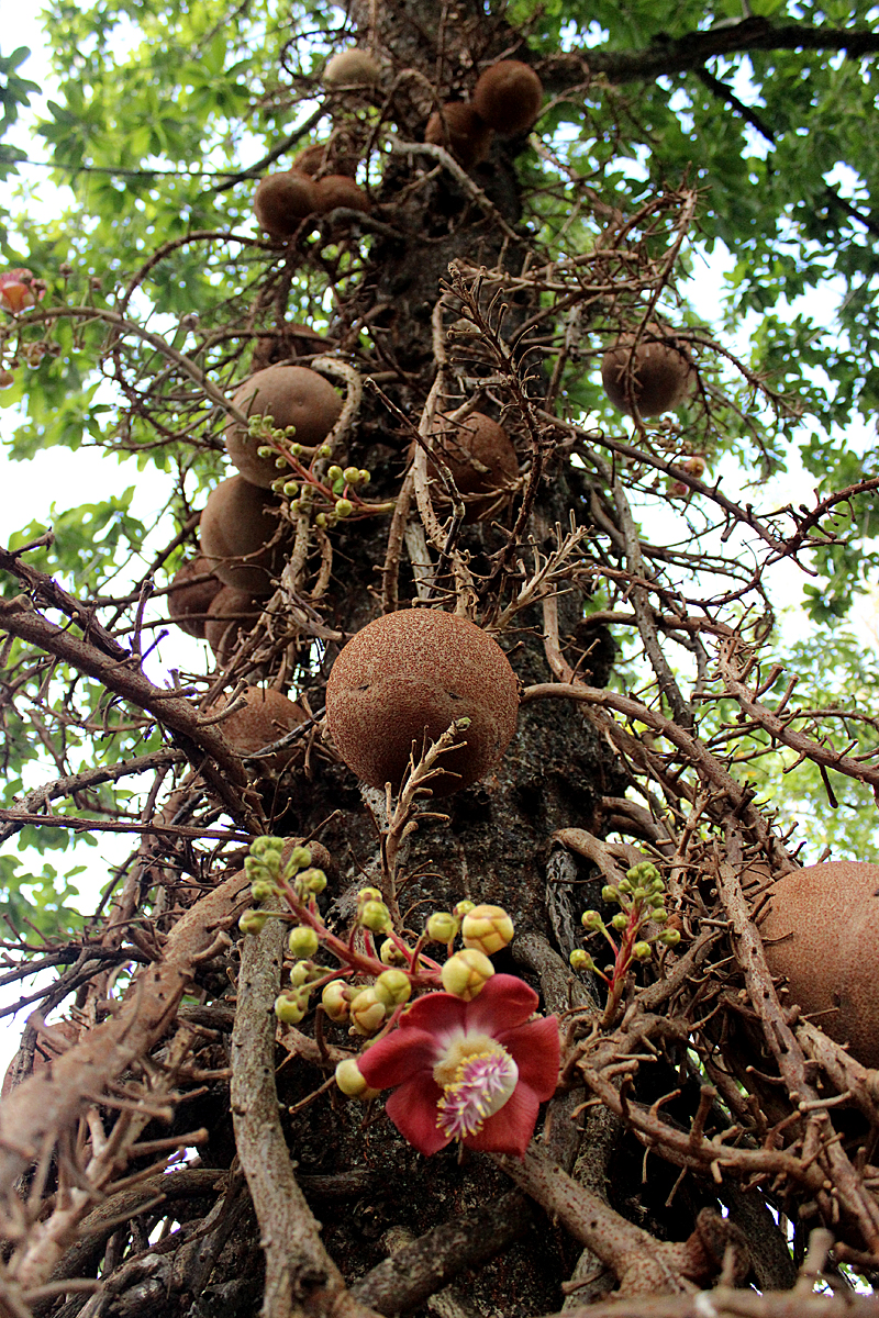 Cannonball Tree Back Yard Biology