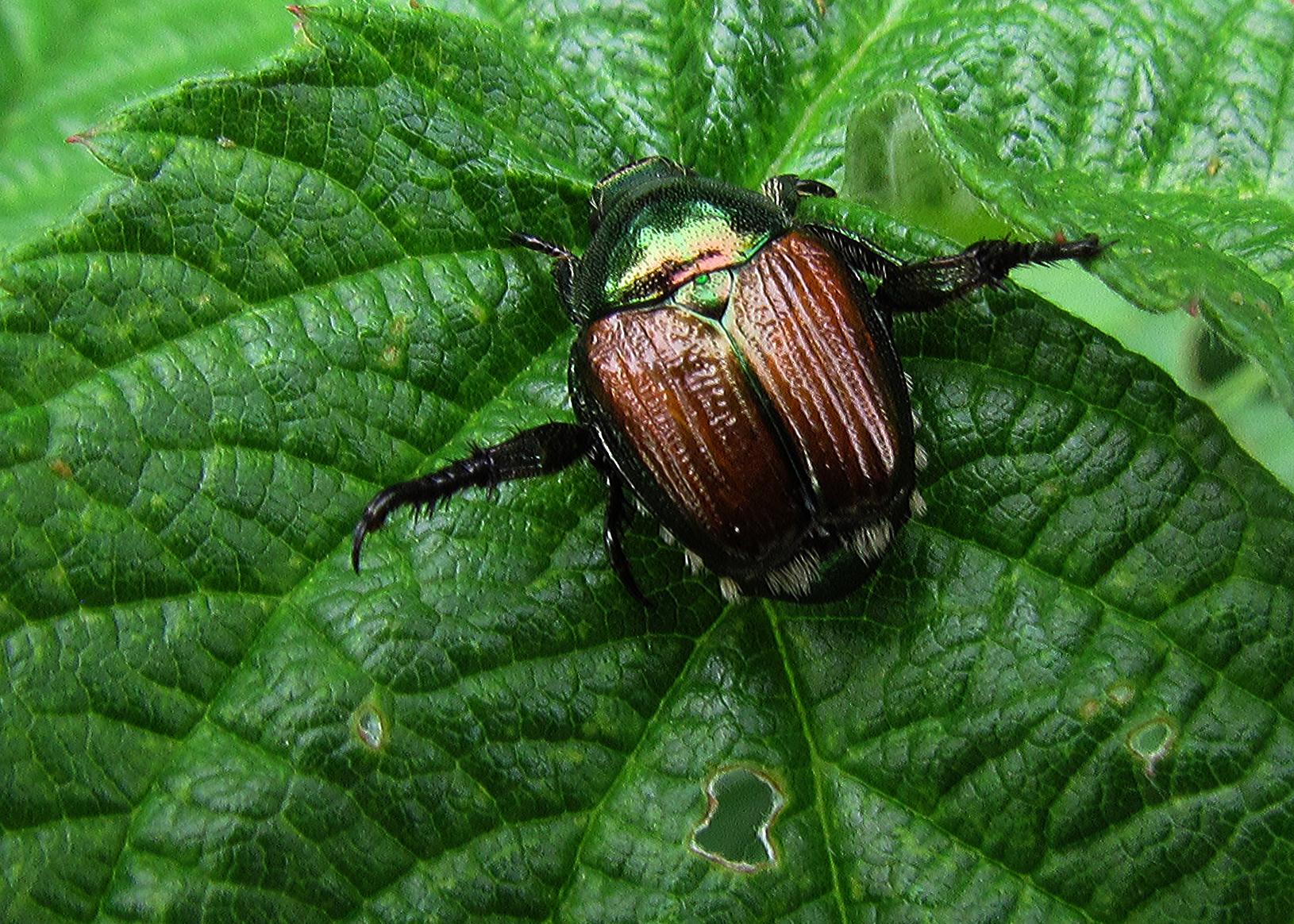 Japanese Beetle Usda Japanese Beetles Have Been