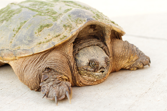 Unhappy Snapper | Back Yard Biology