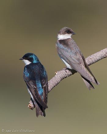 Female Tree Swallow 76