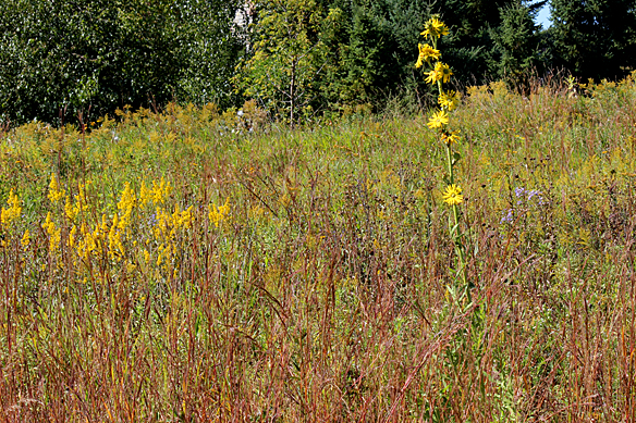 Stiff goldenrod back yard biology for Plant with tall spikes of yellow flowers