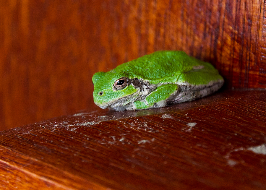 Hyla versicolor | Back Yard Biology Green Tree Frogs Poisonous