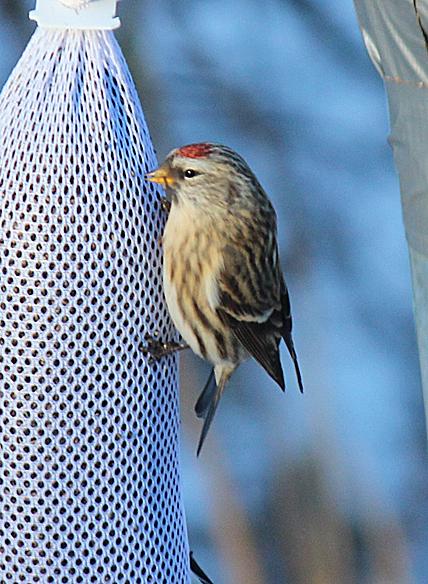 RichS Backyard Birds : Common Redpoll  Back Yard Biology