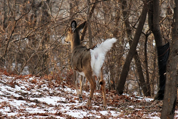 White-tailed deer raising its white flag