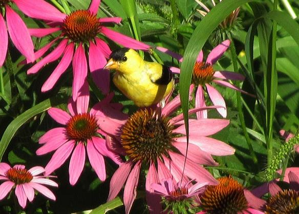 Male American Goldfinch in the backyard flower garden, June 2011