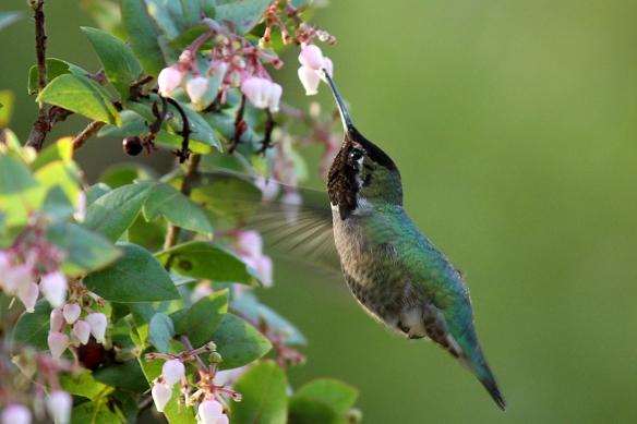 Male Anna Hummingbird, Calypte anna