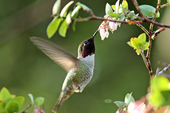 Male Anna's Hummingbird from Berkeley Botanic Garden, November 2012