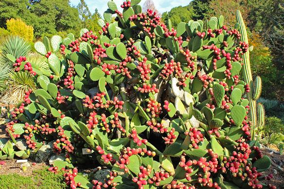 Southwestern desert garden at Berkeley Botanic Garden