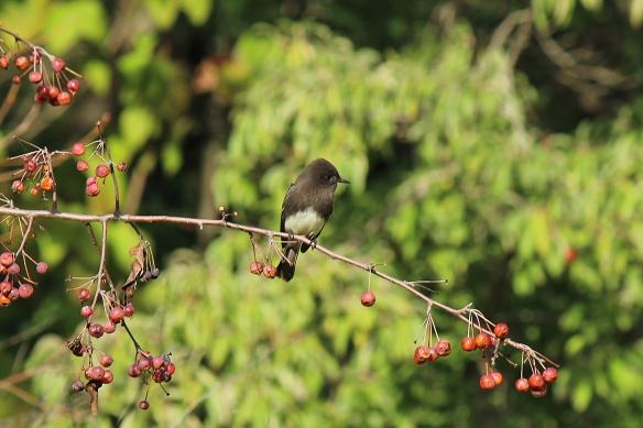 black phoebe. Sayornis nigricans