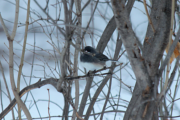 A Slate-colored Junco blends into its background.