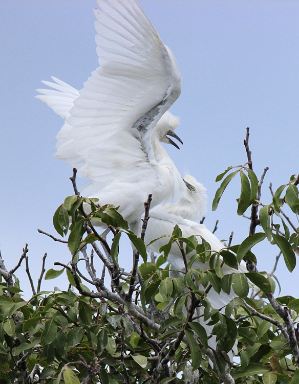 Juvenile Cattle Egrets fighting over food in their nest on St. Croix, U.S. Virgin Islands