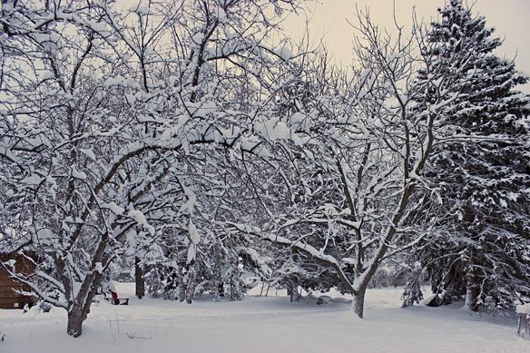 crabapples in snow