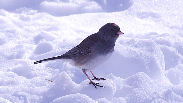 Dark-bodied, dark-eyed Junco against new snow