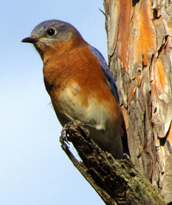 Eastern Bluebird at Vadnais Reservoir, September 2011