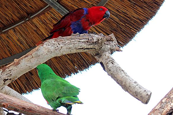 Eclectus Parrots, Eclectus roratus