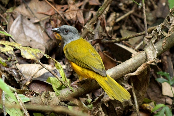 Gray-headed Tanager in Bouquete, Panama, February 2012