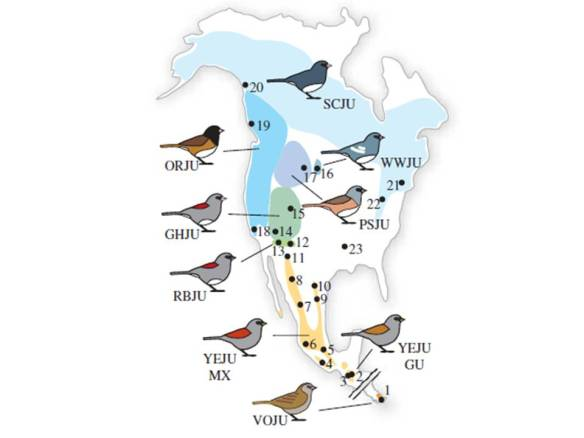 Geographic distribution of Junco subspecies