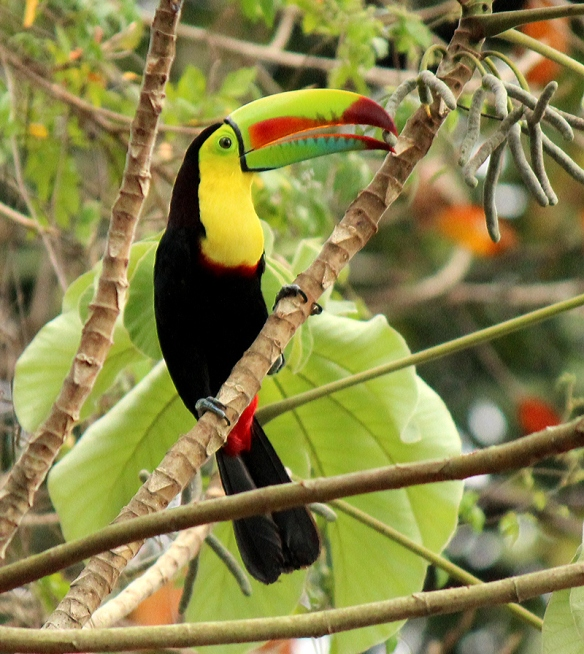 Keel-billed Toucan in the tree outside my hotel in Panama City, February 2012
