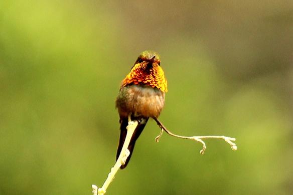 Male Scintillant Hummingbird from Boquete, Panama, Feb. 2012