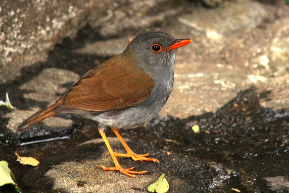Orange-billed Nightingale Thrush in Bouquete, Panama, February 2012.  Inside of the mouth also a bright orange.
