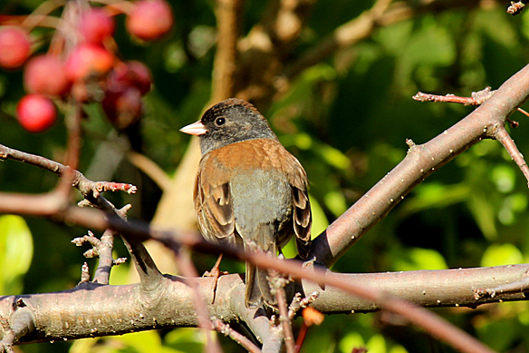 Oregon Junco, western race of the Dark-eyed Junco