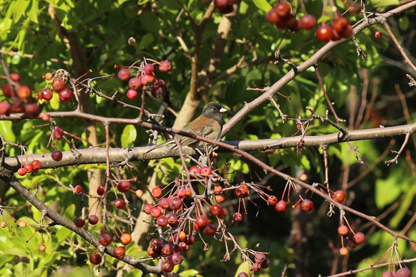 Oregon Junco in crabapple tree