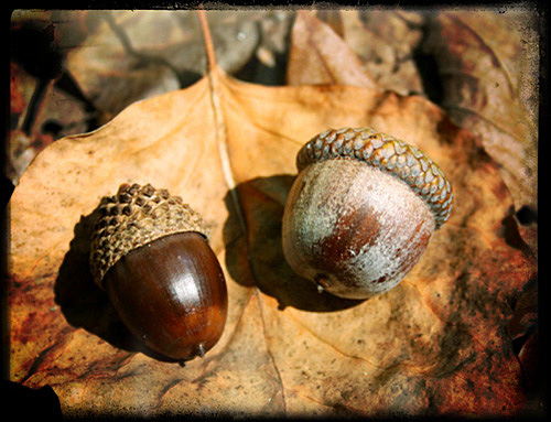 White acorns (left) are smoother and more oblong than red acorns (right).