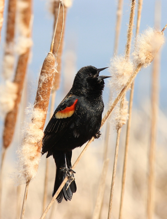 Male Red-winged Blackbird singing in Snail Lake marsh, March 2012