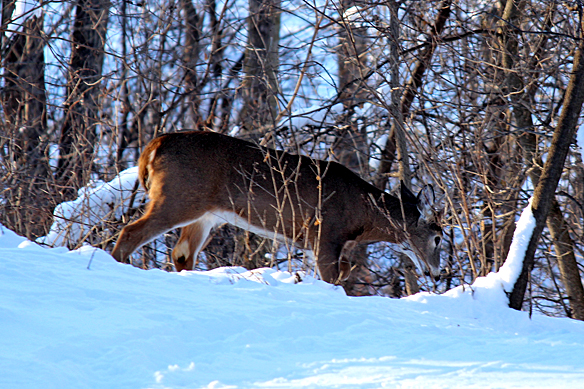 Small buck feeding as he walked along.  I could see him chewing when he raised his head.