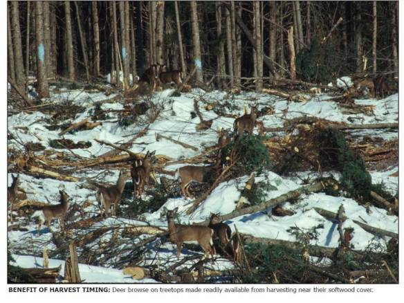 Photo from http://www.maine.gov/ifw/hunting_trapping/pdfs/deer_winter_feeding.pdf