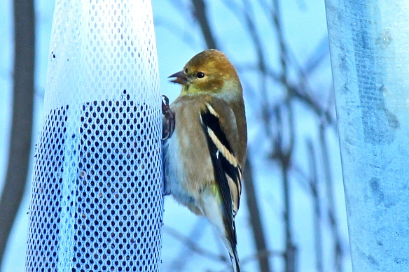 American Goldfinch enjoying a morning treat of thistle seed.