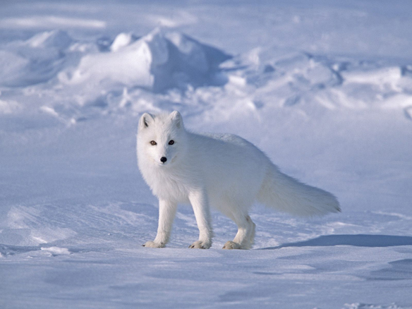 The Arctic Fox trots across ice and snow in Alaska, never worrying about how cold its feet are.