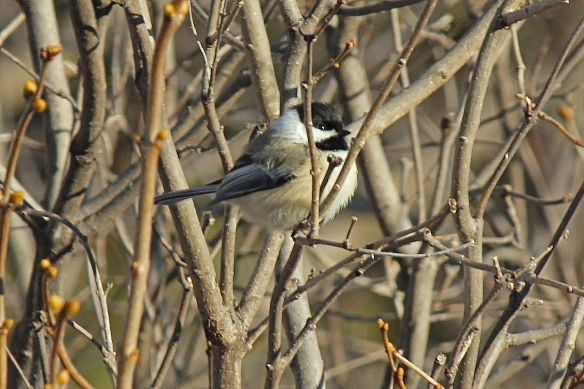 Did you even notice how Black-capped Chickadees seem to be almost spherical in shape when fluffing out their feathers.