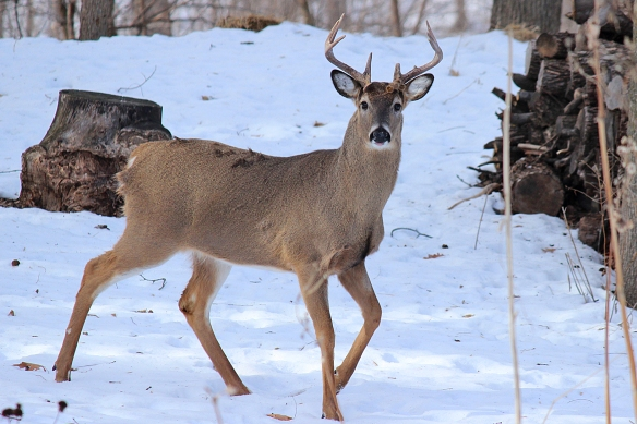 Big buck is a beauty, but rarely ventures into the yard during daylight hours to be photographed.