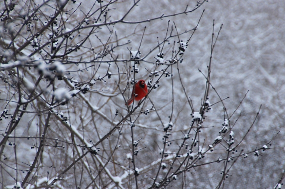 cardinal eating buckthorn berries