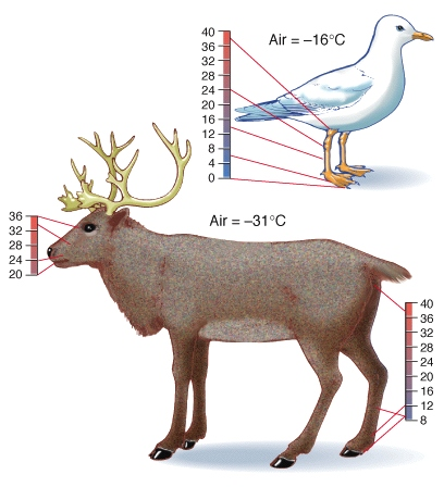 Many animals use the counter-current heat exchange to conserve heat in cold weather.
