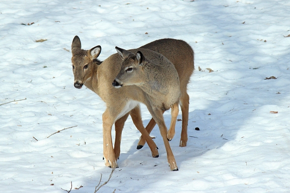 Is there a tiny nub of an antler forming on the youngster on the left?