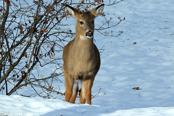 deer with a cold