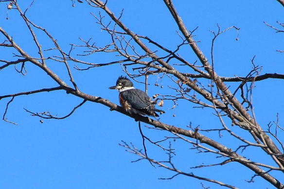 Belted Kingfisher (female?)
