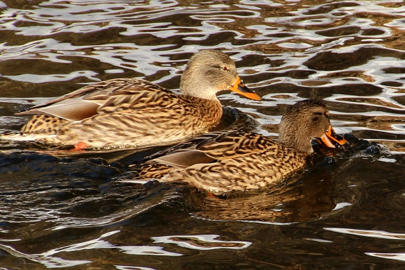 does the female mallard on the right have something in her mouth?