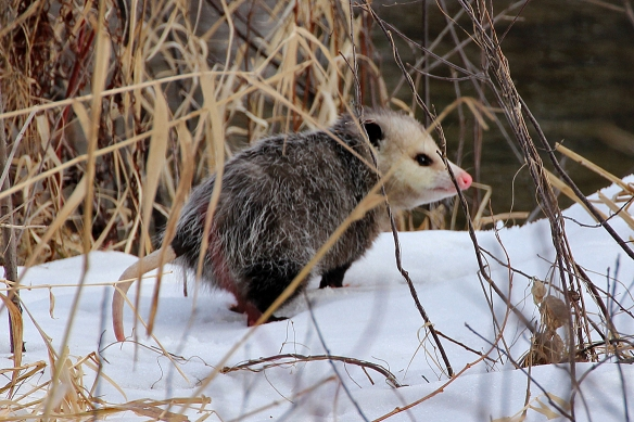 The opossum sat motionless like this for several minutes, and then quickly waddled over to the edge of the cover and disappeared into it.