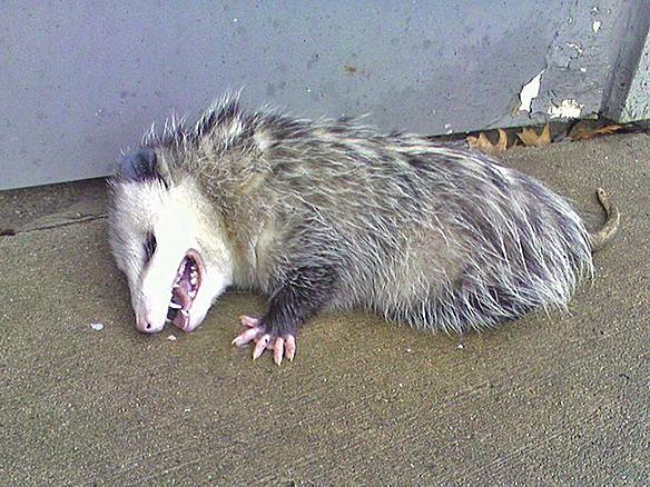 From Wikipedia, http://en.wikipedia.org/wiki/Opossum