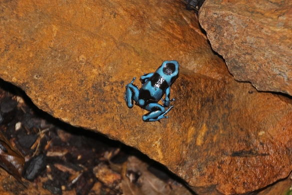 """Believe it or not, this frog is called the """"green and black poison dart frog"""""""