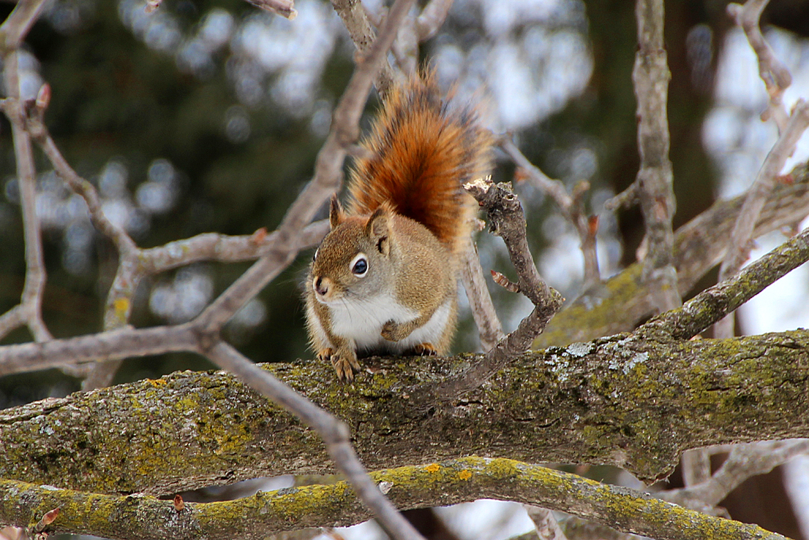 Fox squirrel vs gray squirrel size