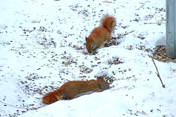 red squirrels feeding on sunflower seed