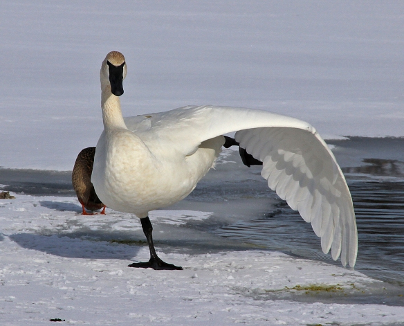 Note excellent extension of leg and wing in this graceful execution...