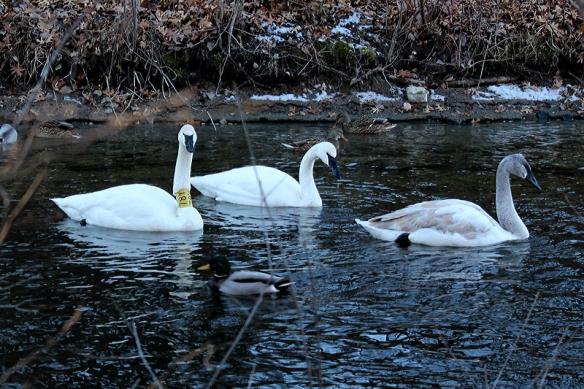 Swan # 78Y on Jan 11, 2011