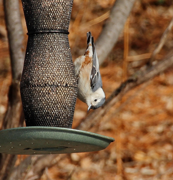 Even on feeders, these little birds insist on hanging upside down to extract the seeds.