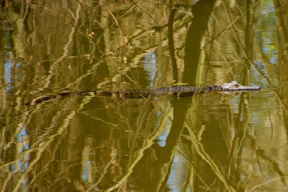 """A """"baby"""" alligator was basking on the bank of the canal until I disturbed him, but he posed in the water anyway."""