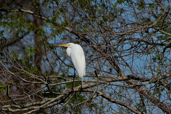 Great Egret hunched up to conserve heat on a very brisk morning.